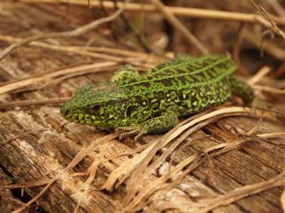 1429113437_lizard-in-the-spring-vesennyaya-yasch.jpg