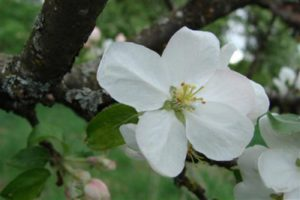 1429115812_apple-tree-yablonya.jpg