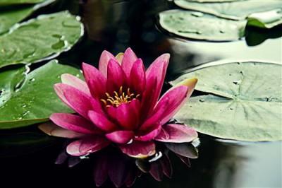 1429115974_lotus-lotos.jpg