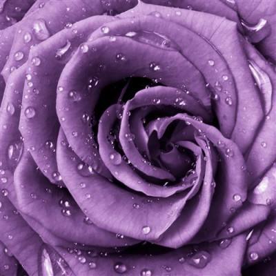 1429116684_sirenevaya-roza.jpg
